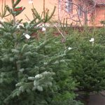 Negyvenezer karácsonyfának való fenyőt bocsát áruba idén a Romsilva, 15 és 35 lej közötti áron