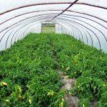 Támogatásban részesülnek az üvegházakban vagy fóliasátrakban termesztők